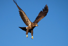 eagle_KenCorreganFlickr